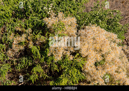 Traveller's joy, Clematis vitalba, with hairy seedheads on low growing bushes on the Mediterranean coast - Stock Photo