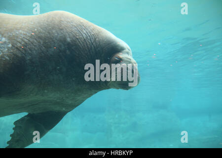 sea lions in zoo park - Stock Photo