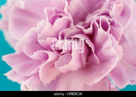 charming lilac carnation close up, center of flower still life blue background  Jane Ann Butler Photography JABP1852 - Stock Photo