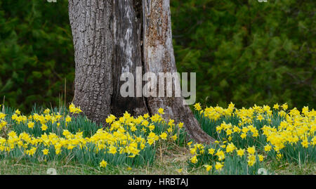 Springtime jonquils or daffodils grace the bottom of a tree in the Cades Cove section of the Smoky Mountains National - Stock Photo