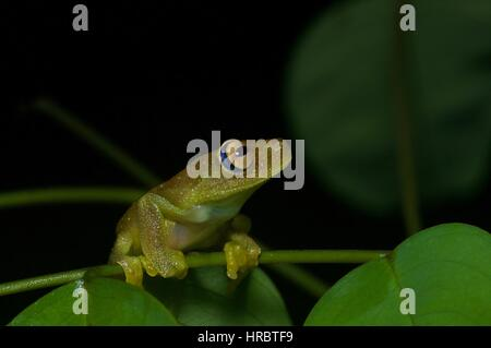 A Rough-skinned Green Tree Frog (Hypsiboas cinerascens) in the Amazon rainforest in Loreto, Peru - Stock Photo