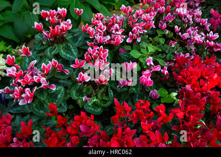 Natural flower background. Amazing nature top up view of pink and red cyclamen flowers blooming in garden under - Stock Photo