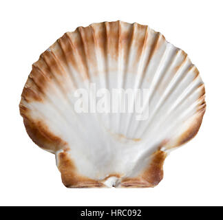 The interior side of a fan-shaped French scallop seashell isolated on white from the coast of Brittany, France - Stock Photo