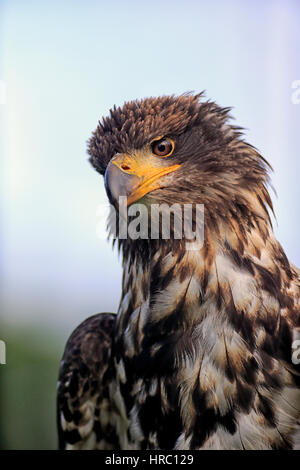 Bald Eagle, (Haliaeetus leucocephalus), immature, portrait, Northamerica, America - Stock Photo