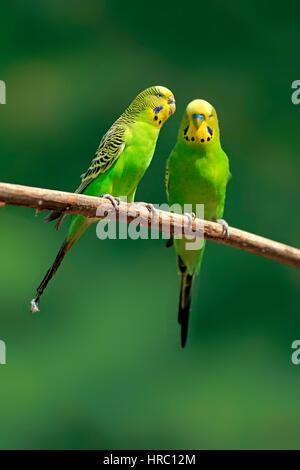 Budgerigar, (Melopsittacus undulatus), adult couple on tree, Australia - Stock Photo