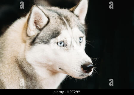 White And Gray Adult Siberian Husky Dog Or Sibirsky Husky With Blue Eyes Close Up Portrait On Dark Black Background - Stock Photo