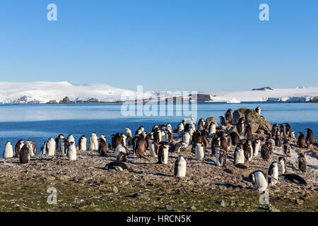 Chinstrap penguins colony members gathered on the rocks, Half Moon Island, Antarctic - Stock Photo
