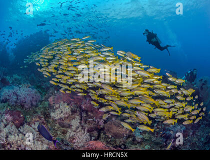 Young female scuba diver swims with a large school of yellowtail snapper fish streaming across a tropical coral - Stock Photo