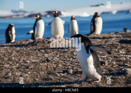 Chinstrap penguin running among gentoos on the shore, South Shetland Islands, Antarctic - Stock Photo