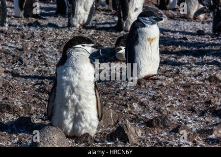 Young chinstrap penguin chick standing among his colony members gathered on the rocks, Half Moon Island, Antarctic - Stock Photo