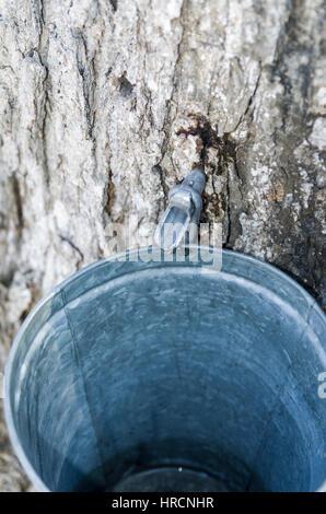 Maple sugar bush - Stock Photo