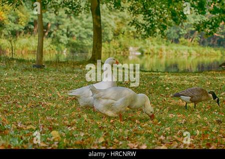 Ducks in the park - Stock Photo