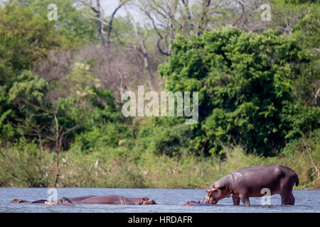 Much of the wildlife of Majete Wildlife Reserve in Malawi has been restored through reintroductions and concerted - Stock Photo