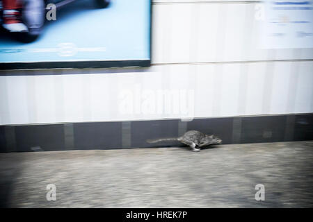 A large rat is seen on the platform of the 28th Street subway station in New York on Thursday, February 23, 2017. - Stock Photo