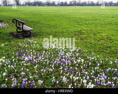 Wooden Bench and Crocus Flowers on The Stray in Early Spring Harrogate North Yorkshire England - Stock Photo