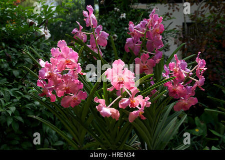 Pink Phalenopsis orchids - Stock Photo