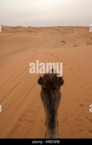 Camel Trekking into the sands of the Sahara Desert in Merzouga, Morocco - Stock Photo