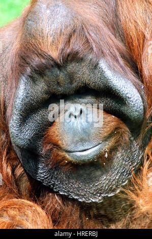 Portrait Of An Orang-Utan - Stock Photo