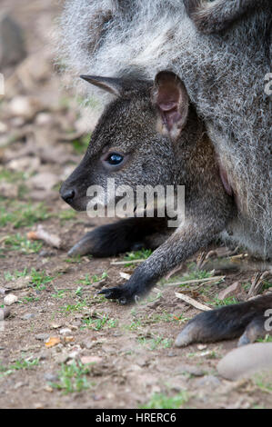 Red Necked Bennetts Wallaby Joey In A Pouch - Stock Photo