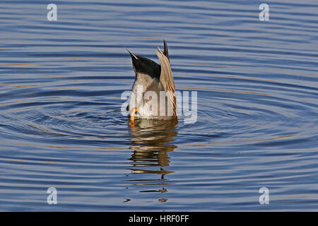 Male gadwall duck Latin name anas strepera family anatidae vulnerable status diving in the Sentina nature reserve - Stock Photo