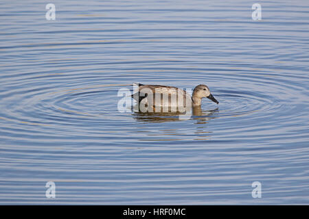 Male gadwall duck Latin name anas strepera family anatidae vulnerable status swimming in Sentina nature reserve - Stock Photo