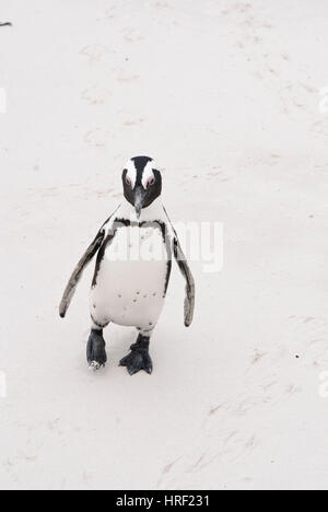 An African penguin on a beach in False Bay, South Africa - Stock Photo