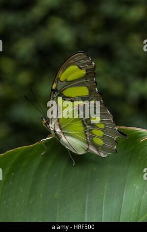 Malachite butterfly (Siproeta Stelenes) Photographed in Foz do Iguaçu - Paraná - Brazil