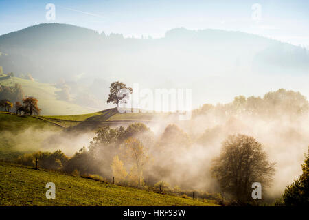 Solitary oak, English oak (Quercus robur) in autumn fog, Freiburg im Breisgau, Black Forest, Baden-Württemberg, - Stock Photo