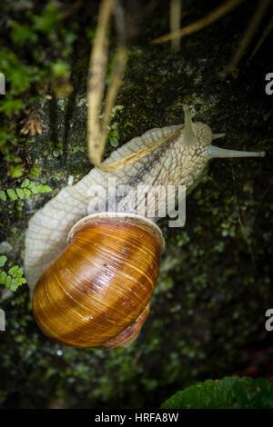 Weinbergschnecke - snail - Stock Photo