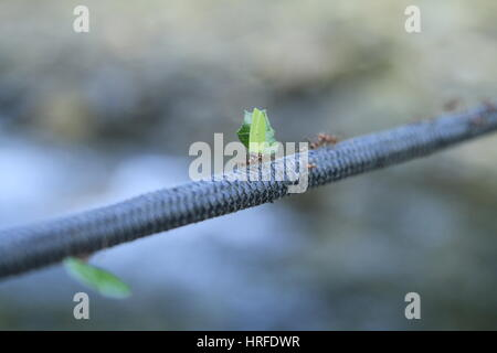 Ants on a Rope, Colombia - Stock Photo