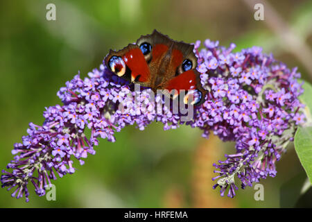 Peacock butterfly on Buddleia - Stock Photo