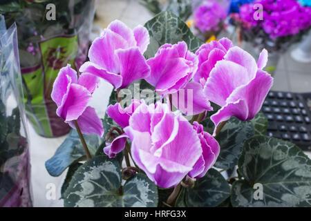 cyclamen Pink beautiful blossom magic closeup flowers - Stock Photo