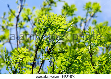 Young new leaf growth on an Rowan tree with catkins in the Spring - Stock Photo