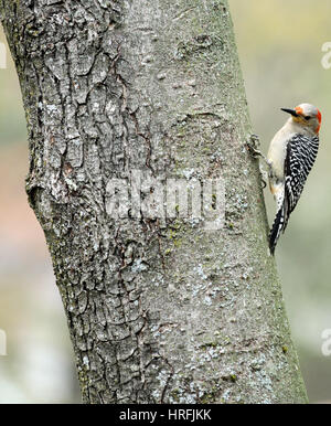 A female red-bellied woodpecker (Melanerpes carolinus) perching on the trunk of a maple tree - Stock Photo