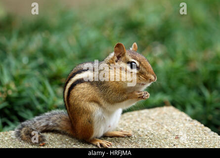 Close-up of Eastern chipmunk (Tamias striatus) sitting up in a begging position - Stock Photo
