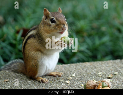 Close-up of an Eastern chipmunk (Tamias striatus) holding an acorn in its paws - Stock Photo