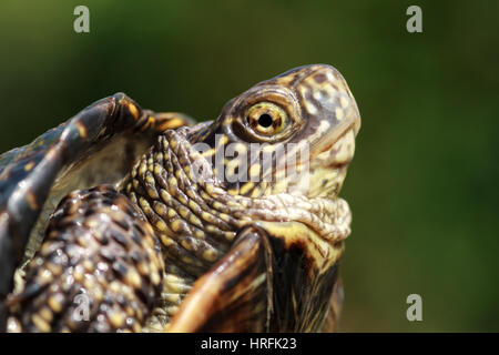 turtle poked his head out of the shell - Stock Photo