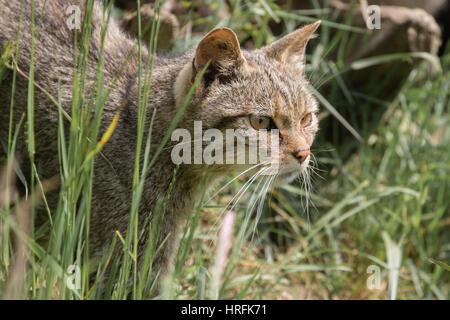 Scottish Wildcat (Felis silvestris) - Stock Photo
