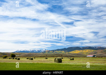 Large round hale bales lined up in a field after being harvested in Colorado. Trees on a mountain in the background - Stock Photo