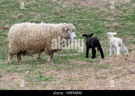 A mother sheep in a pasture with her twin lambs.  One is black and one is white. - Stock Photo