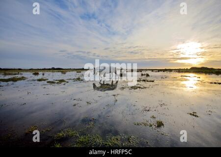 White horse walking in a flooded field of the New Forest - Stock Photo