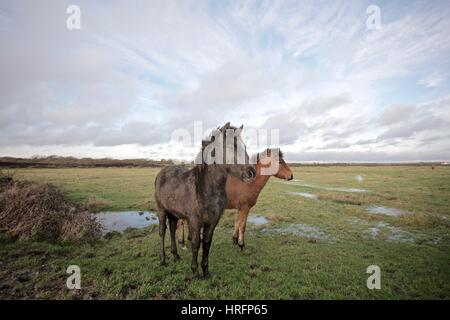 Horses in a flooded field of the New Forest - Stock Photo