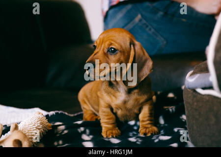 8 weeks old smooth brown dachshund puppy sitting on a brown leather sofa on a black blanket with paws print. First - Stock Photo