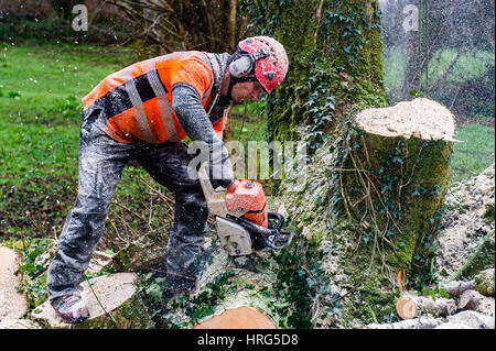 Professional Tree Surgeon cuts down a rotten tree in a domestic garden using a chainsaw in Ballydehob, West Cork, - Stock Photo