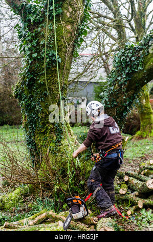 Professional Tree Surgeon cuts down a rotten tree in a domestic garden in Ballydehob, West Cork, Ireland. - Stock Photo