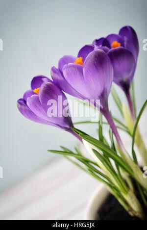 Crocus in vase on blue background closeup - Stock Photo