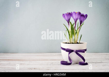 Crocus in vase with violet ribbon on blue background - Stock Photo