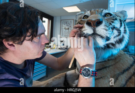 Taxidermist Markus Ranft of the State Museum for Art and Cultural History (LWLMuseum) dissects the zoo tiger Rasputin - Stock Photo