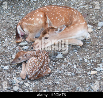 Newborn fallow deer (Dama dama) with mother. - Stock Photo
