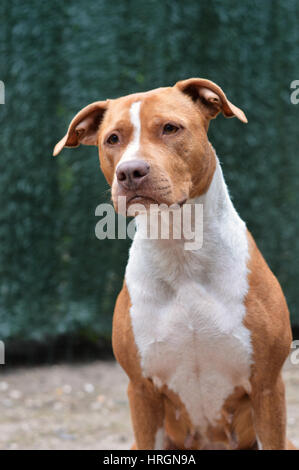 portrait of a American staffordshire - Stock Photo